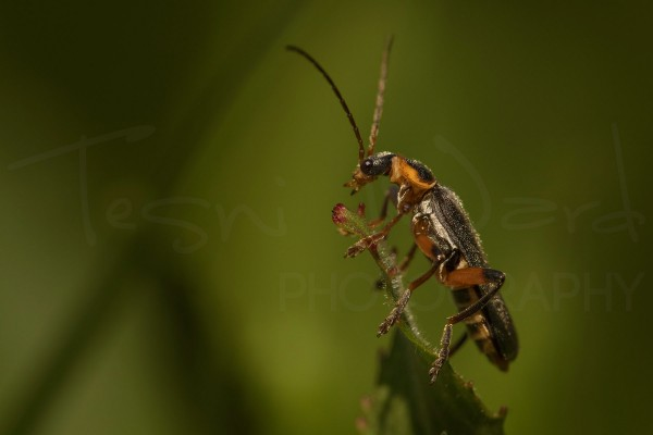 Grammoptera Ruficornis Insect Beetle Macro Photography