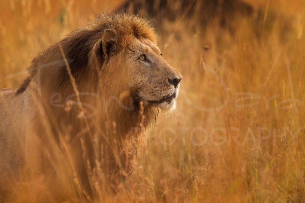 Lion Notch Caeser Maasai Mara Africa Photography Workshops