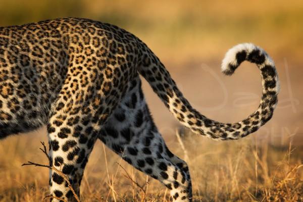 Leopard Africa Maasai Mara Photographic Safari