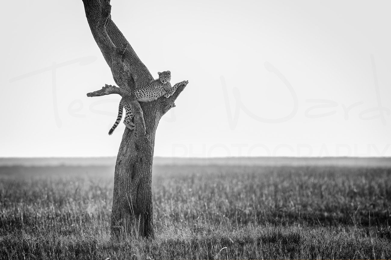 Cheetah Maasai Mara Tree Monochrome