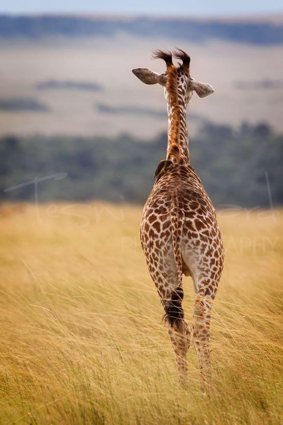 Giraffe Maasai Mara Africa Photographic Safari