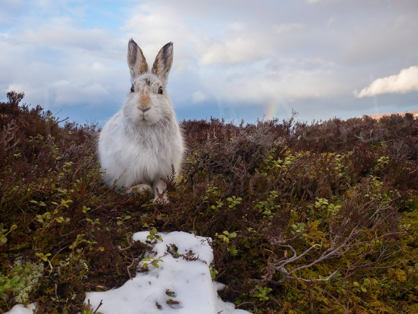 Mountain Hare Cairngorm Wildlife Photography Workshop Tuition