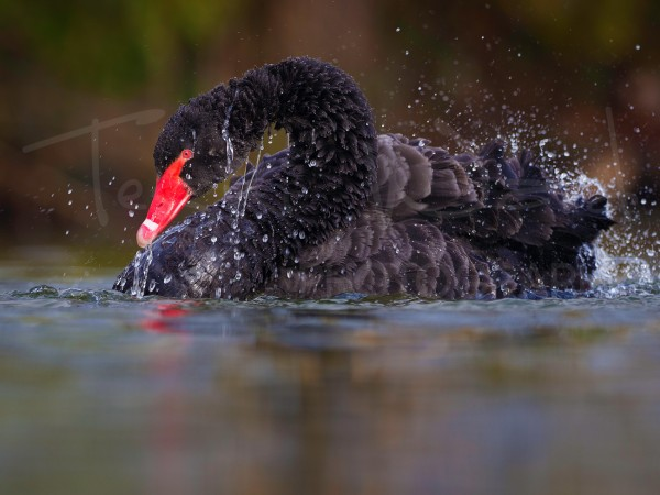 Black Swan Waterfowl Wildlife Photography Workshop