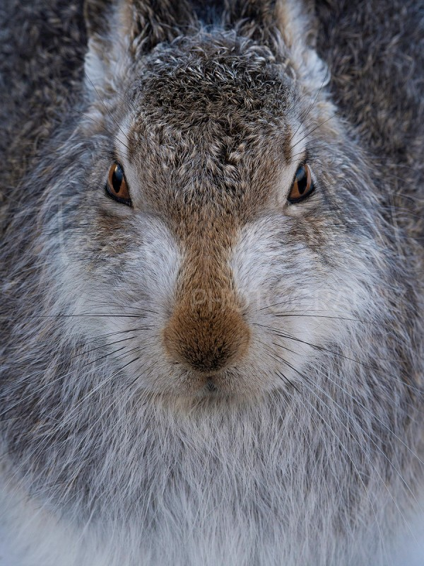 Mountain Hare Scotland Cairngorm Wildlife