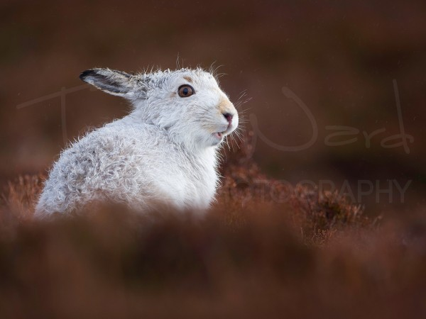 Mountain Hare Scotland Cairngorms Wildlife Photography Workshop