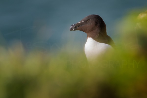 Coastal Bird Photography Workshop Wildlife Razorbill Bempton