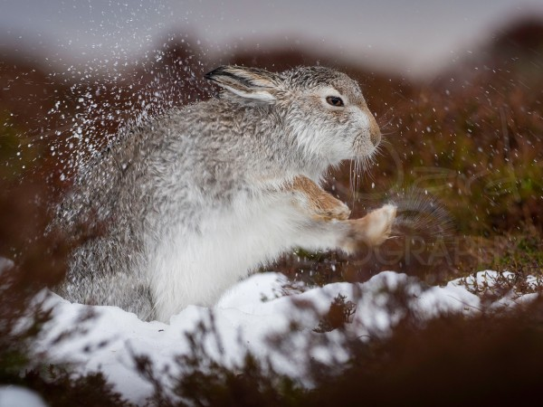 Mountain Hare Photography Workshop Wildlife Scotland
