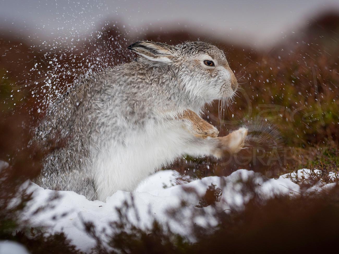 Mountain Hare Photography Workshop Wildlife Scotland