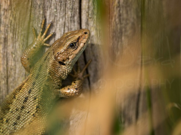 Common Lizard Photography Workshop Peak District