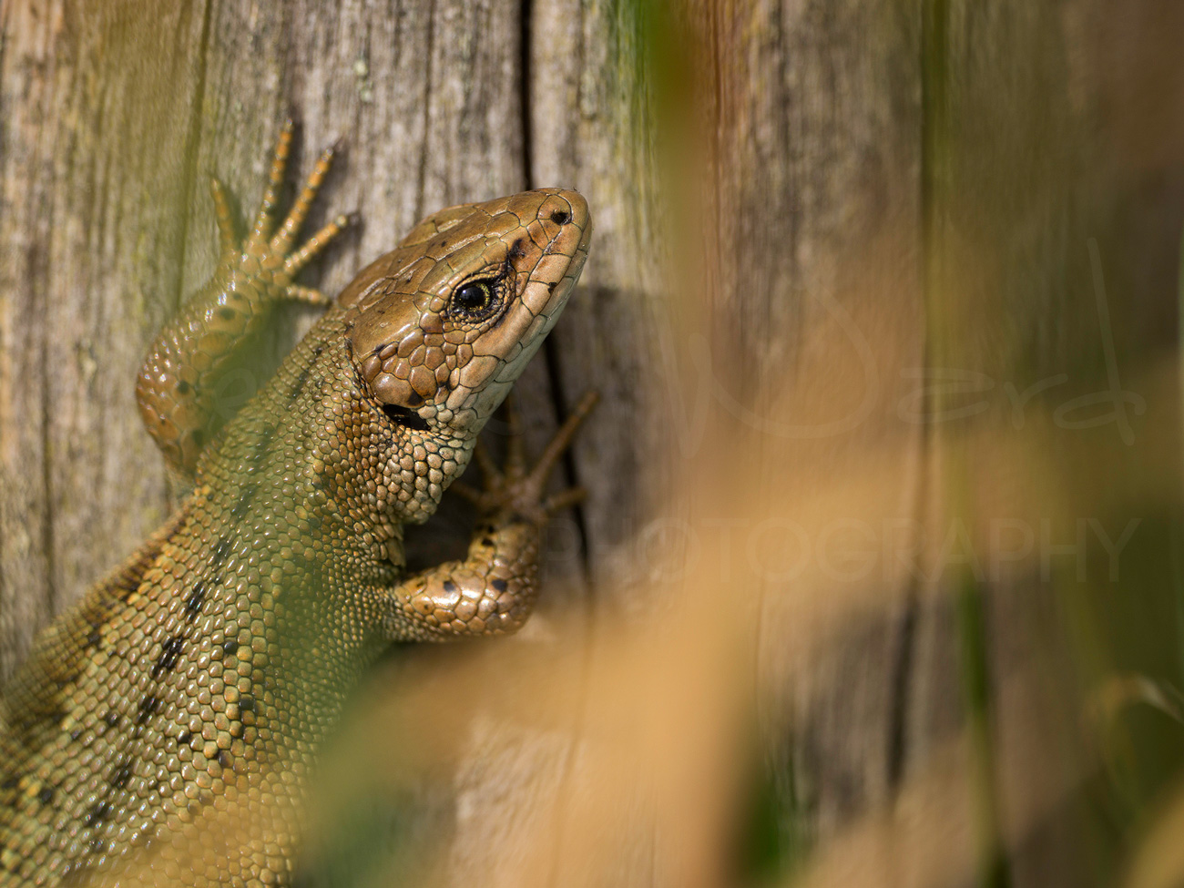 Common Lizard Photography Workshop Peak District