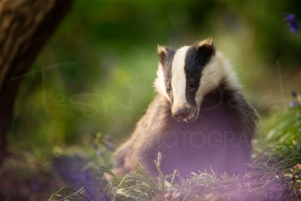 Badger Peak District Wildlife Photography Derbyshire