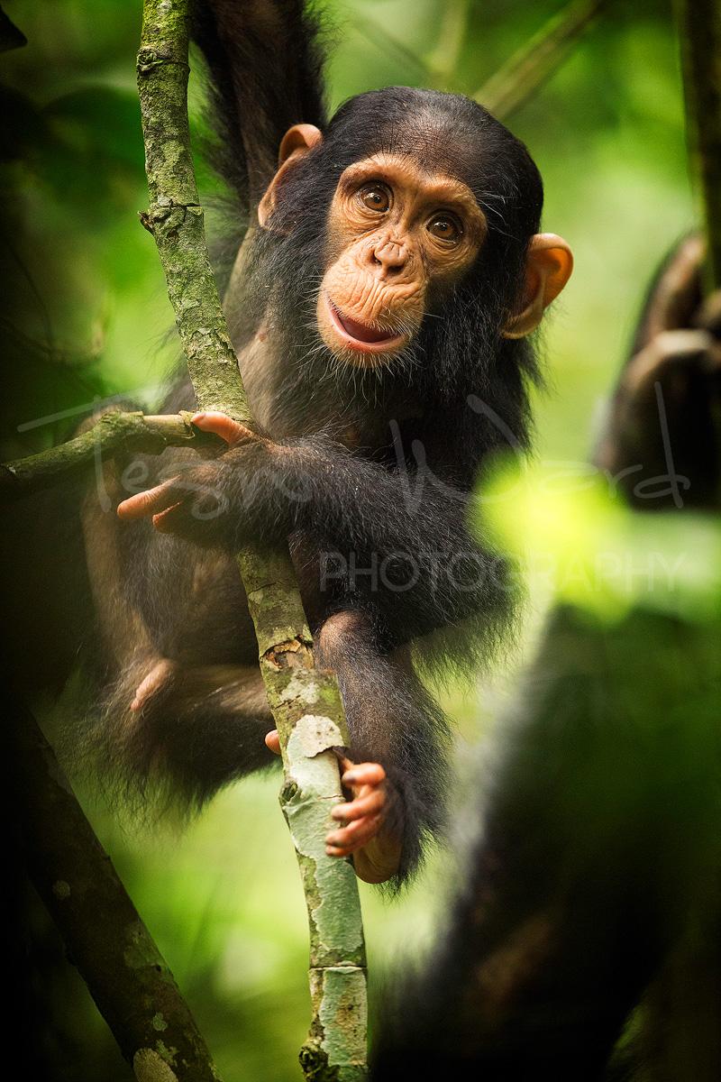 Chimp Chimpanzee Wildlife Photography Africa