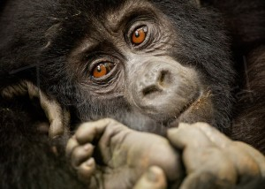 Mountain Gorilla Uganda Bwindi Wildlife Photography Africa