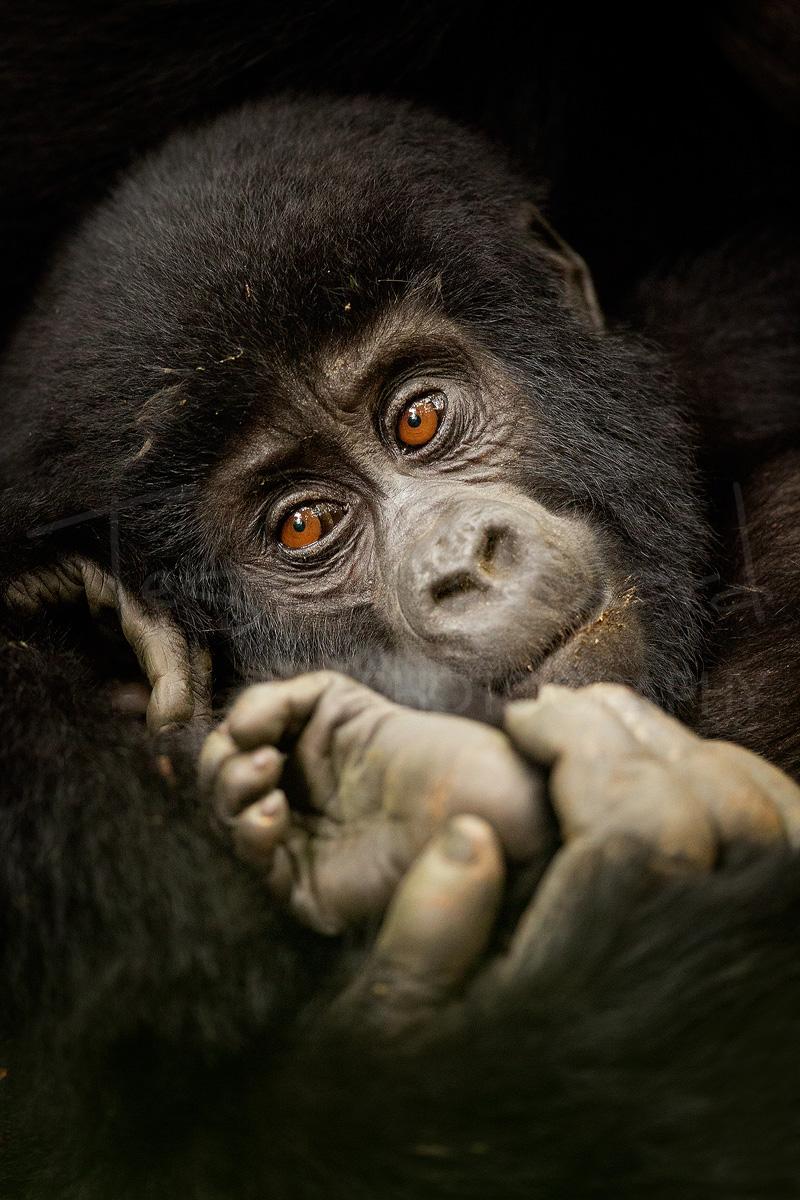 Mountain Gorilla Uganda Bwindi Wildlife Photography Africa