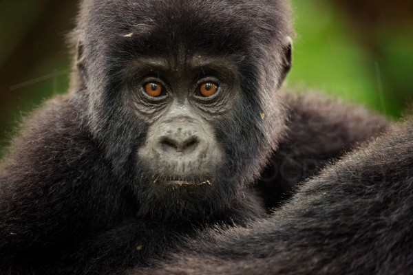 Mountain Gorilla Wildlife Photography Africa