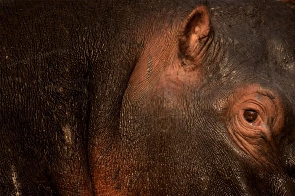 Hippo Uganda Africa Wildlife Photography Ishasha Queen Elizabeth
