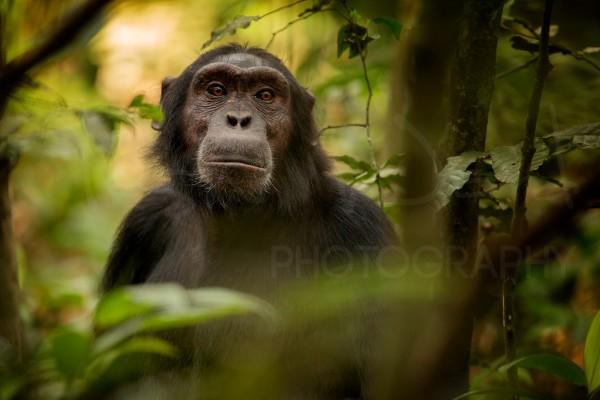 Chimp Chimpanzee Wildlife Photography Africa