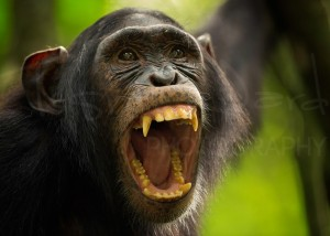 Chimp Chimpanzee Uganda Kibale Wildlife Photography Africa