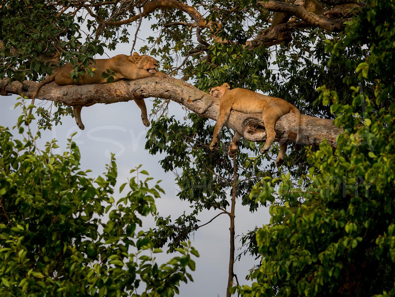 Lion Uganda Ishasha Queen Elizabeth Wildlife Photography Africa