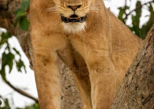 Lion Uganda Ishasha Queen Elizabeth Wildlife Photography Africa