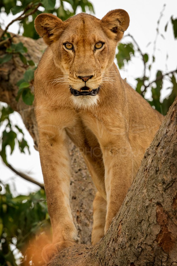 Lion Wildlife Photography Africa