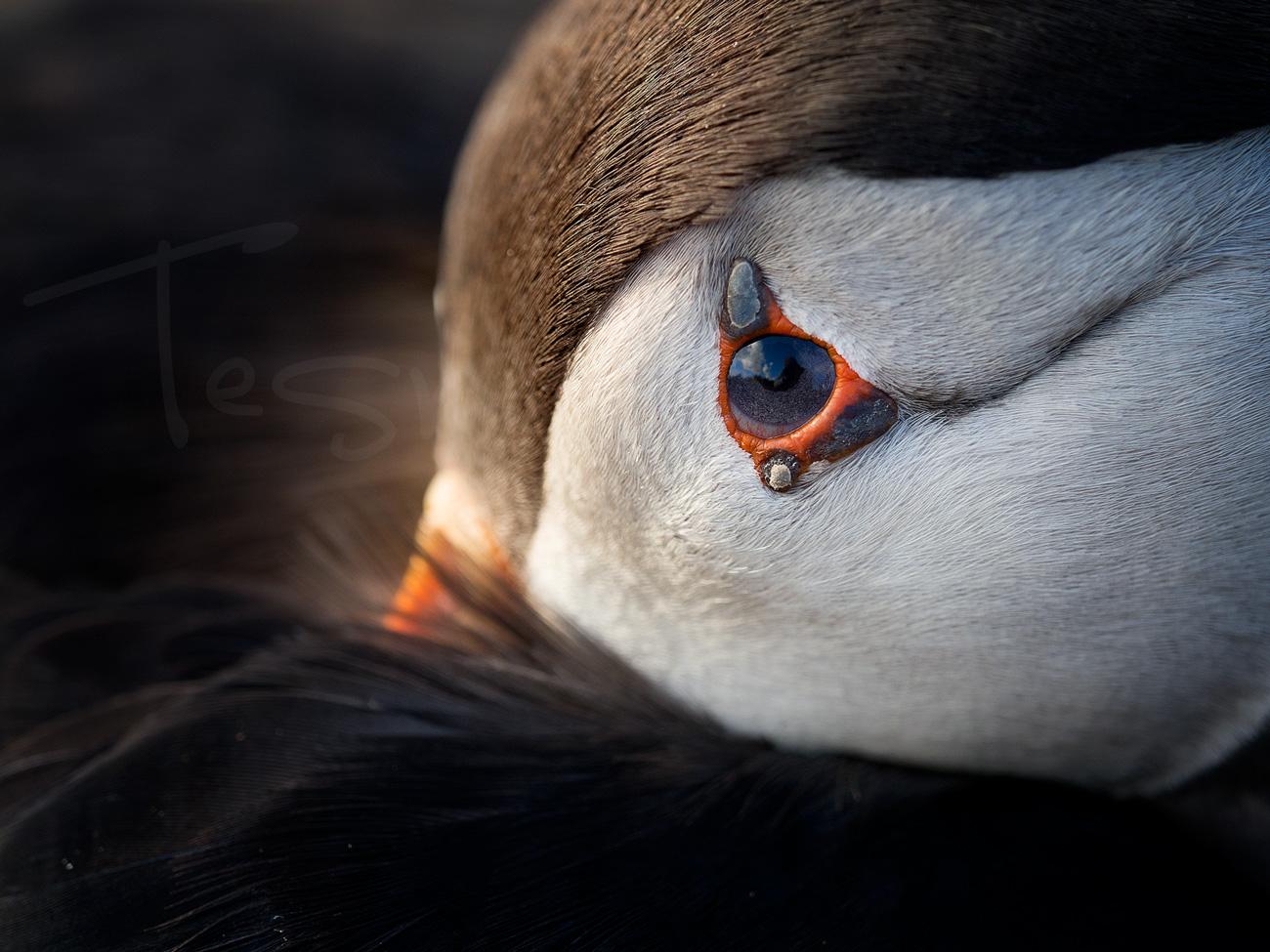 Puffin Skomer Wildlife Bird Photography Wales