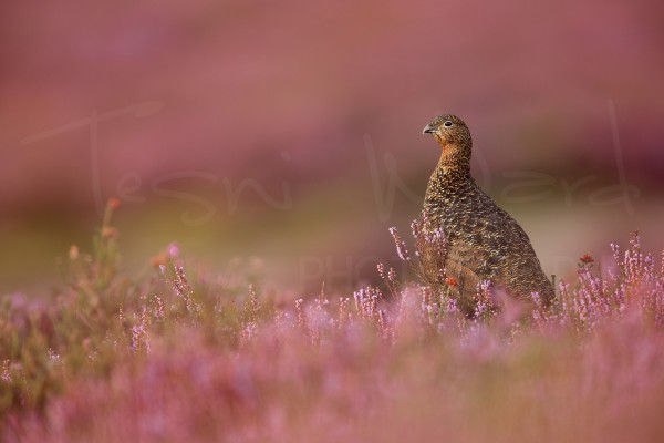 Red Grouse Peak District Wildlife Photography Workshop Tour