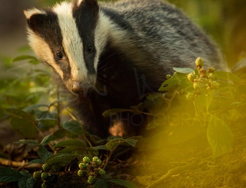 The Badger Cull 2017