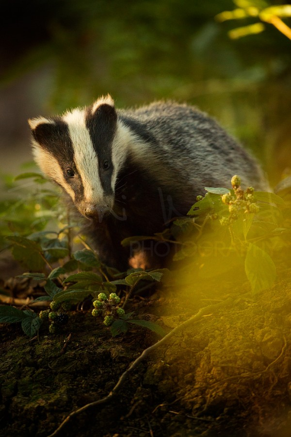 Badger Peak District Wildlife Photography Meles Meles