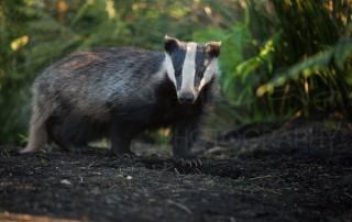 Badger Peak District Wildlife Photography Workshop
