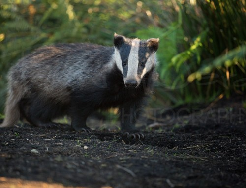 So you want to Photograph Badgers?