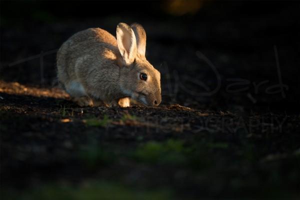 Rabbit Peak District Wildlife Photography Sunset