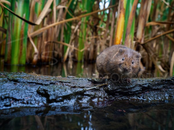 Water Vole Photography Peak District