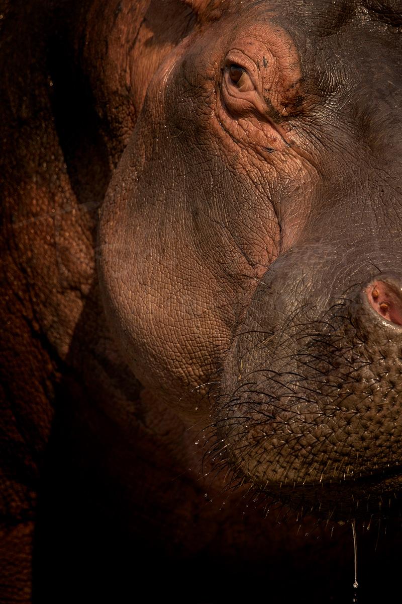 Hippo Africa Safari Wildlife Photography