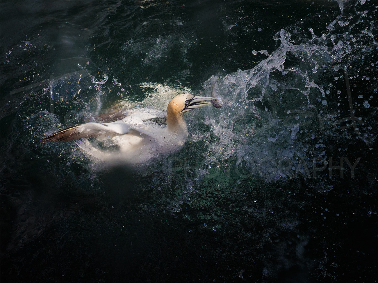 Gannet Diving Flamborough Photography Wildlife