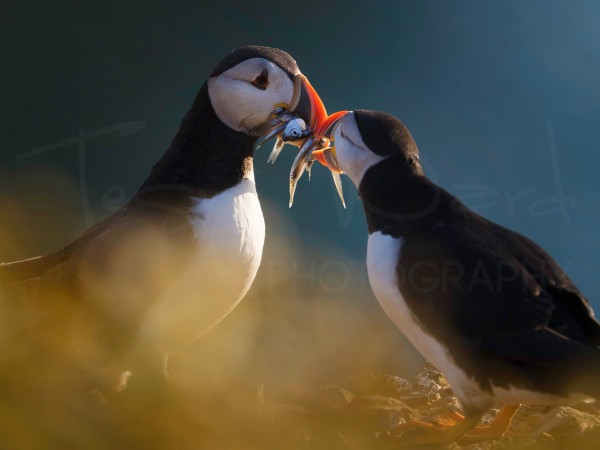Puffin Sandeel Wildlife Photography Workshop