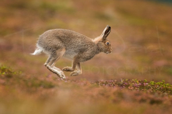 Mountain Hare Cairngorms Scotland Wildlife Photography