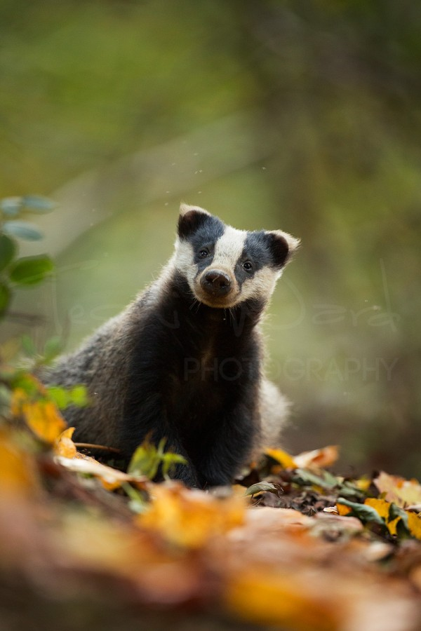 Badger Peak District Wildlife Photography Autumn