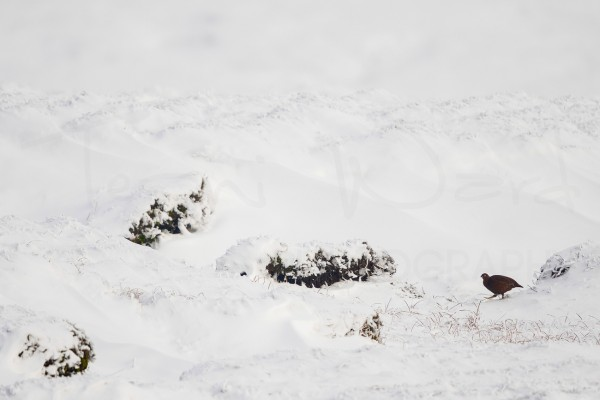 Red Grouse Peak District Winter Wildlife Photography