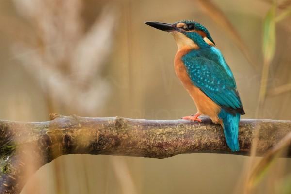 Kingfisher Wildlife Photography