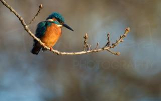 Kingfisher Peak District Wildlife Photography