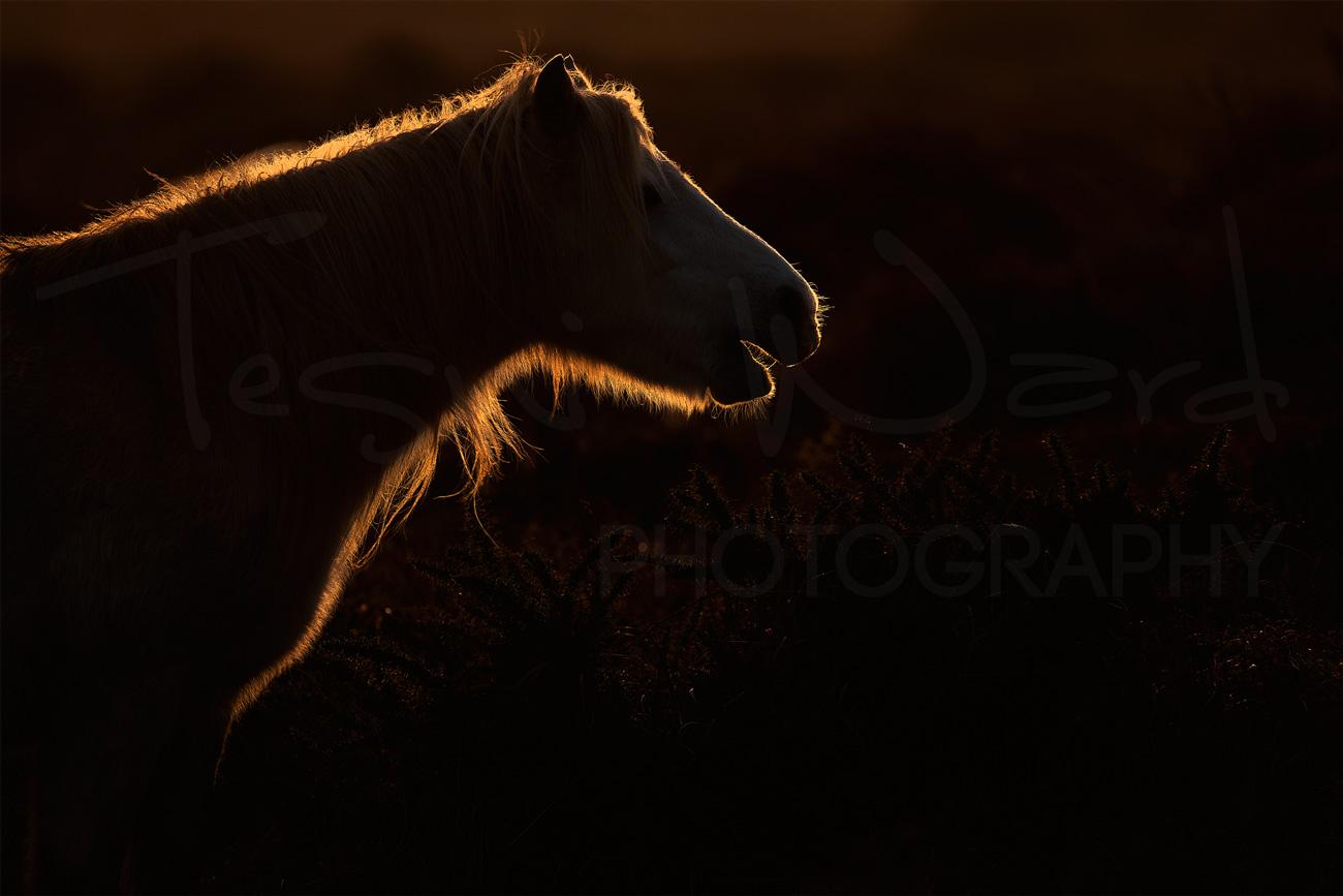 Welsh Mountain Pony Pembrokeshire