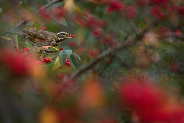 Redwing Berries Wildlife Photography Peak District