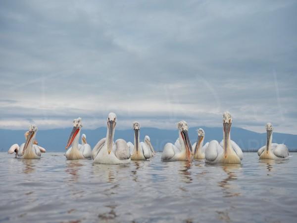 Dalmatian Pelican Greece Lake Kerkini Wildlife Photography
