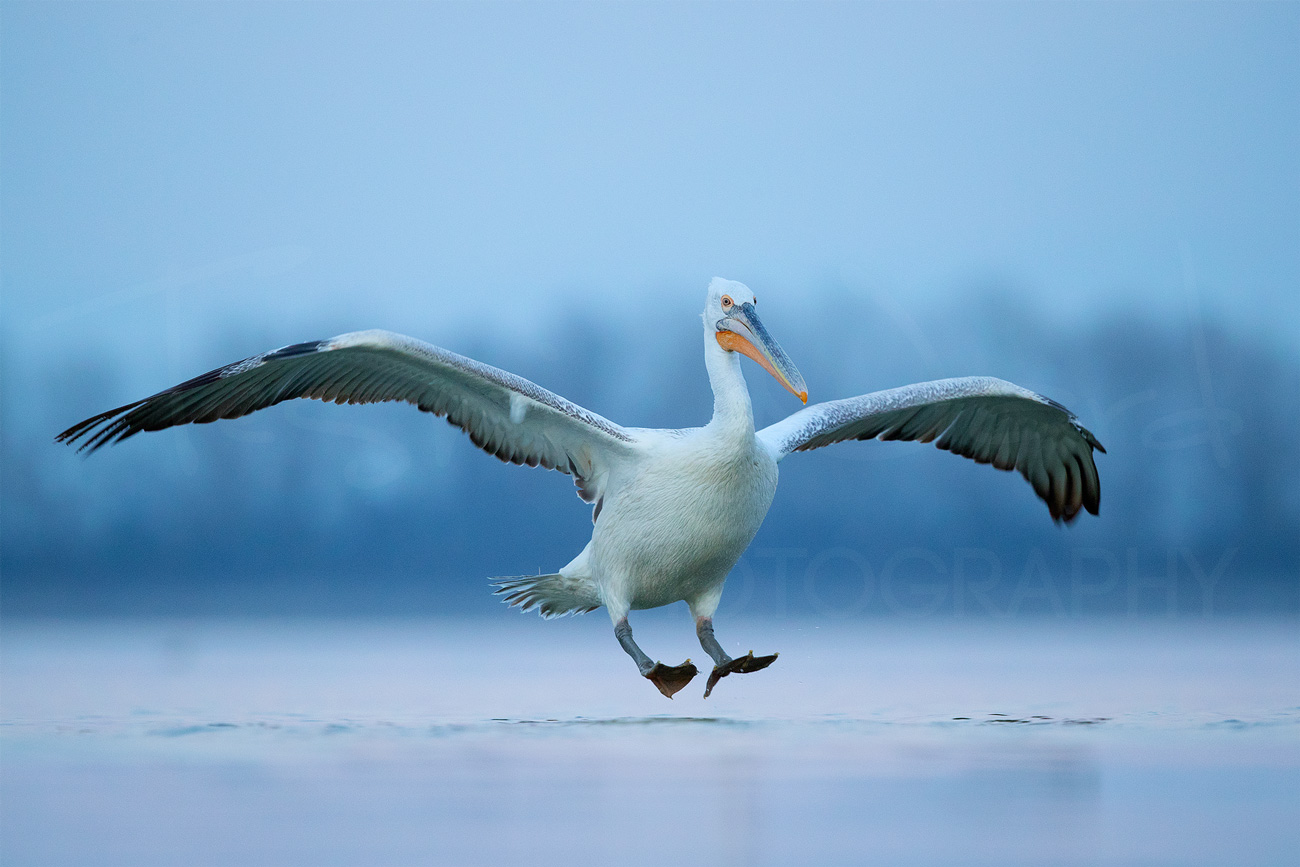 Dalmatian Pelican Greece Lake Kerkini Wildlife Photography