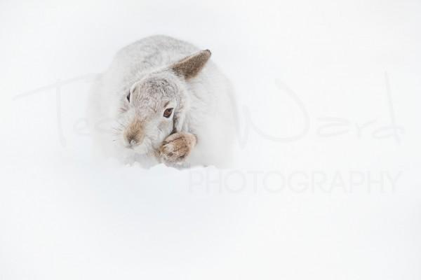Mountain Hare Scotland Cairngorm National Park