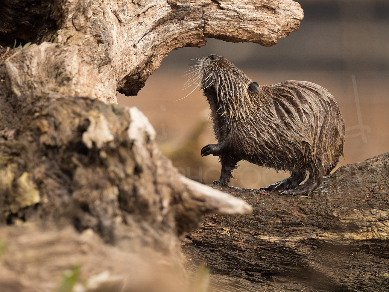 Greece Lake Kerkini Coypu Wildlife Photography