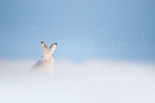 Mountain Hare Scotland Cairngorm National Park