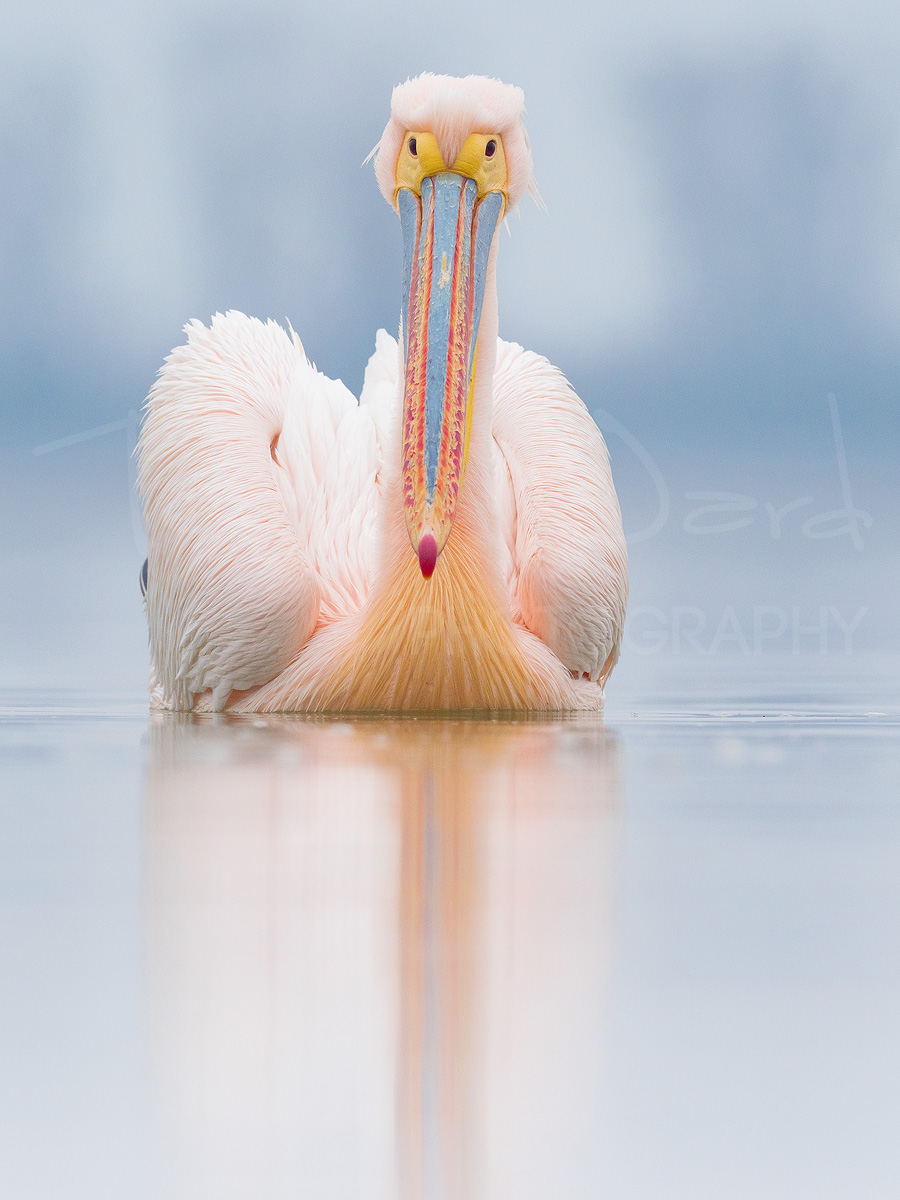 Rosy Great White Pelican Greece Lake Kerkini Wildlife Photography