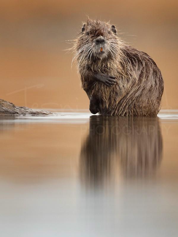 Greece Lake Kerkini Nutria Coypu Wildlife Photography